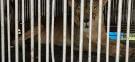 Localizan una leona al interior de un taller mecánico en Ecatepec